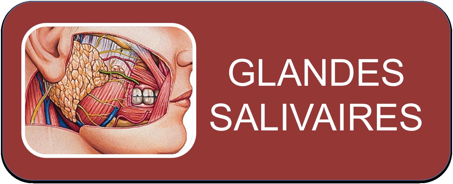 7_Glandes_salivaires